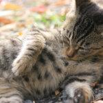 ネクスガードには猫用はありますか?