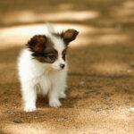 犬の涙やけの取り方・落とし方 – 重曹/ホウ酸水の作り方を徹底解説!