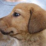 犬猫のミミヒゼンダニ(耳ダニ/耳疥癬)の治療と症状