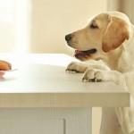 犬がつまみ食いで食べてはいけないものを食べた!対処方を解説!