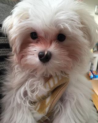 涙やけが目立つ「まるちゃん」 4ヶ月の子犬です♪